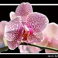 Orchid 10 by Allan Rothman