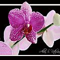 Orchid 3 by Allan Rothman