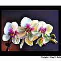 Orchid 6 by Allan Rothman