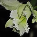 orchid 900 Brassolaeliocattleya Ruben's Verde Chantilly Green by Terri Winkler