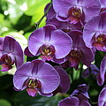 Orchid Beauties by Brieanna Stinemetz