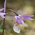 Orchid Calypso Bulbosa - 1 by Heiko Koehrer-Wagner