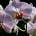 Orchid Flower Blooms by C Ribet