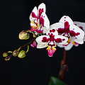 Orchid Flowers Against Black Background by Stephanie McDowell