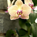 Orchid by Floyd Menezes