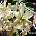 Orchid Iwanagara 9854 by Terri Winkler