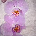 Orchid by Jane Rix