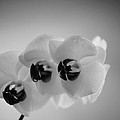Orchid by Matthias Krapp