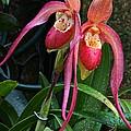 Orchid Mysteries by Byron Varvarigos