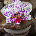 Orchid On Stack Of Rocks by Garry Gay