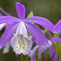 Orchid Pleione Formosana Flowers by VisionsPictures