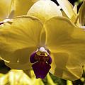 Orchid Study Vi by Patricia Griffin Brett