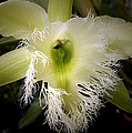 Orchid With Feathery Ends by Nancy Griswold