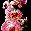 Orchids 2 by Jessica Velasco
