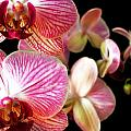 Orchids 3 by Jessica Velasco