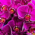 Orchids A Plenty by Christopher Holmes