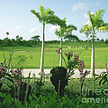 Orchids At Iberostar Golf Course In Punta Cana Dr by Heather Kirk