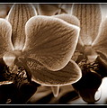 Orchids In Sepia by Danielle  Parent