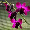 Orchids In The Sunlight by Theresa Willingham