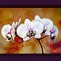 Orchids by Mary Morawska