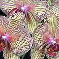 Orchids by Stefa Charczenko