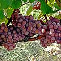 Oregon Burgundy by Cheryl Colaw