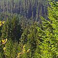 Oregon Trees by Linda Hutchins