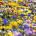 Oregon Wildflowers by Craig Tuttle
