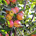 Organic Apples In A Tree by Susan Leggett