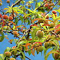 Organic Peach Tree, by Pete Starman