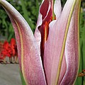 Oriental Lily Named La Mancha by J McCombie
