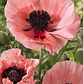 Oriental Poppy Papaver Orientale Salmon by VisionsPictures