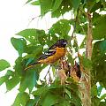 Oriole And Babies by David Arment