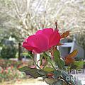 Orlando Rose by Jane Whyte