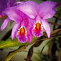 Orquideas Flor De Mayo Del Bosque Nublado by Juan Carlos Lopez