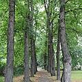 Oslo Trees by Carol Groenen