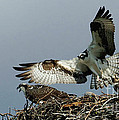 Osprey 2 by Bob Christopher