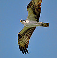 Osprey Above by Bill Dodsworth