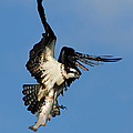 Osprey And Rainbow Trout by Mircea Costina Photography