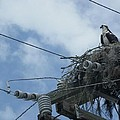 Osprey And Song Bird by Bella S