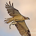 Osprey Catches Big Fish by TJ Baccari
