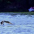 Osprey Cleaning The Lake  by Randall Branham