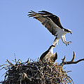 Osprey Coming In For A Landing by Christine Stonebridge