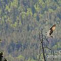 Osprey by Dennis Hammer