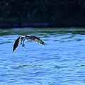 Osprey Environmentalist by Randall Branham