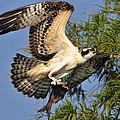 Osprey Flight by Bill Dodsworth