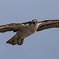 Osprey In Flight by Bill Lindsay
