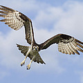 Osprey In Flight One by Bill Swindaman