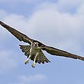 Osprey In Flight Two by Bill Swindaman