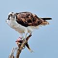 Osprey In The Morning by Bill Dodsworth